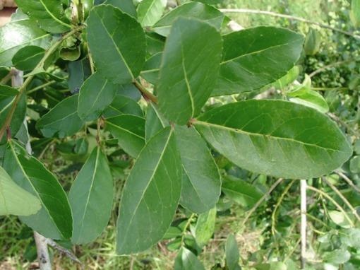 hojas de yerba mate